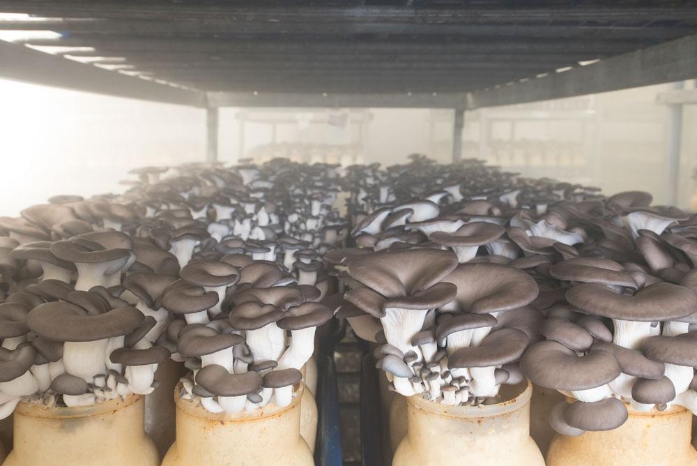 Black Oyster Enviro Mushroom Farm